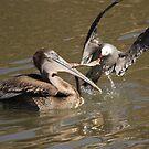 American Brown Pelican and Gull    San Carlos, Sonora, Mexico by Verna  Perry