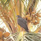 Crane Hawk, Mazatlan, Sinaloa, Mexico by Verna  Perry