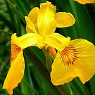Golden Iris by naturelover