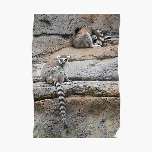 Lemur rocks Poster