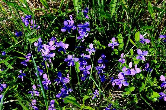 Common Blue Violets von Kathleen Daley