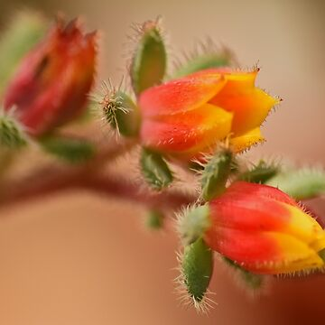 Flowering Cactus by Deb504