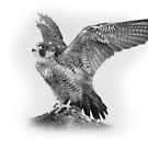 Peregrine Falcon by Miles Herbert