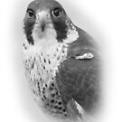 Peregrine Falcon Head by Miles Herbert