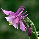Columbine by Lori Peters