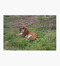 Tiger Rescue Photographic Print