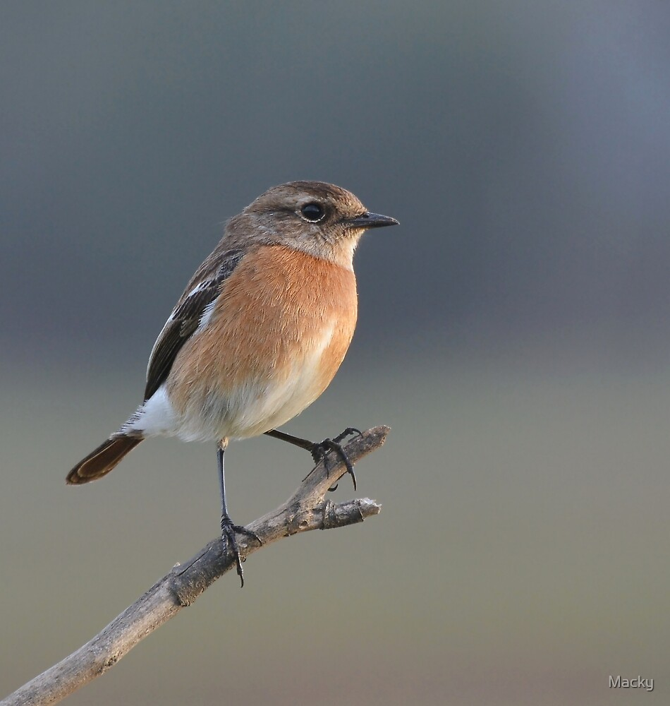 Stonechat by Macky