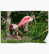 Roseate Spoonbill Family Poster