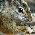 UP CLOSE - THE TREE SQUIRREL – Paraxerus cepapi  von Magriet Meintjes