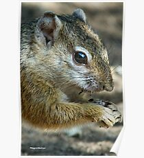 UP CLOSE - THE TREE SQUIRREL – Paraxerus cepapi  Poster