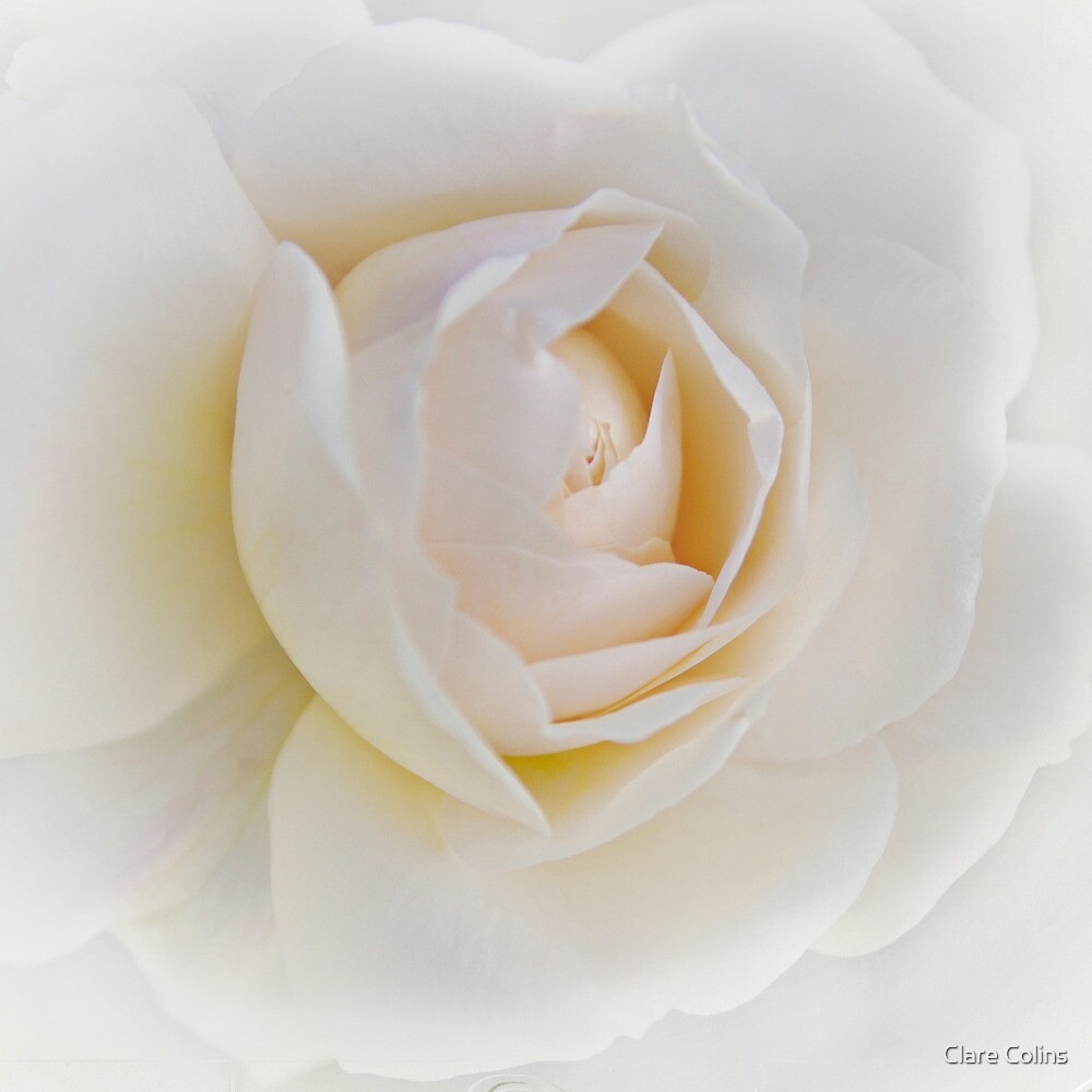 Snow White - the Rose by Clare Colins