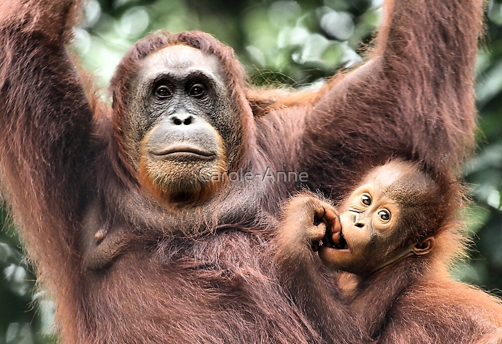 Are You Looking At Us?? Orangutans, Sepilok, Borneo  by Carole-Anne