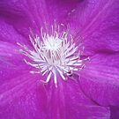 Clematis by Jess Meacham