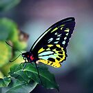 Fluorescent Birdwing by James McKenzie