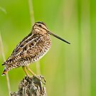 Wilsons Snipe by Michael Cummings