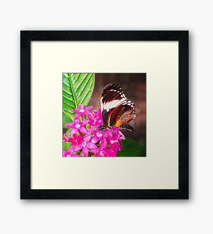 Butterfly on Pink Penta Flowers Framed Print