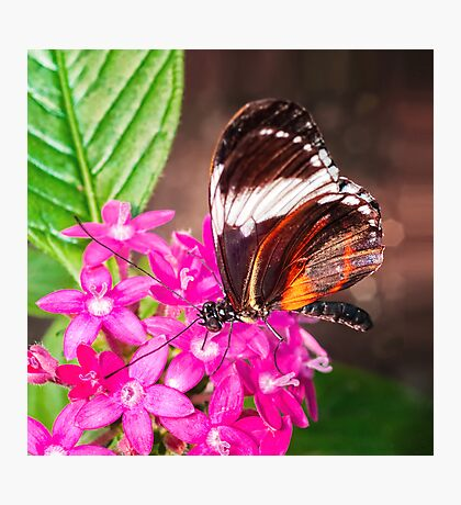 Butterfly on Pink Penta Flowers Photographic Print