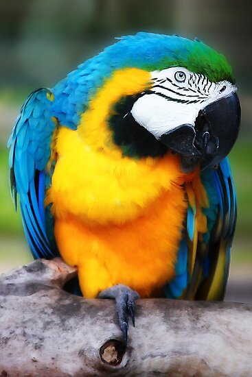 Blue and Yellow Macaw by Damienne Bingham