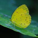 Grass Yellow  ( Eurema hecabe )  -  Cairns  FNQ by john  Lenagan