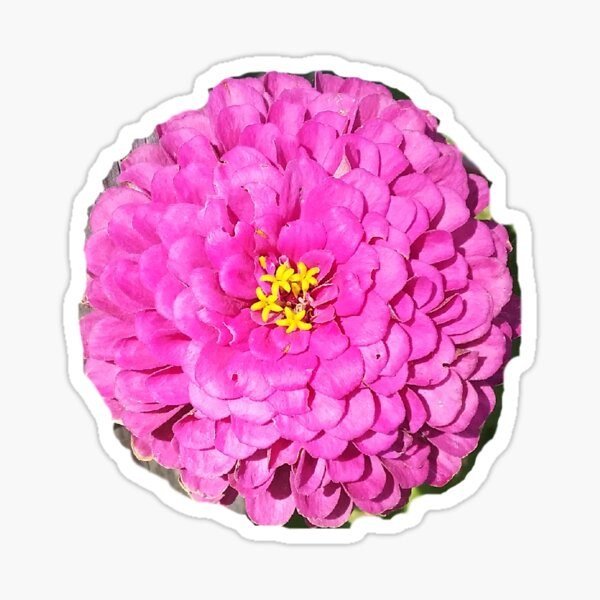 Zinnia Flower Sticker