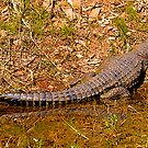Crocodile at rest, Lake Argyle, Western Australia. by johnrf