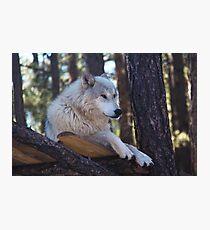 Timber Wolf Sentinel Photographic Print