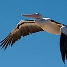 Pelican, Australia by Erik Schlogl