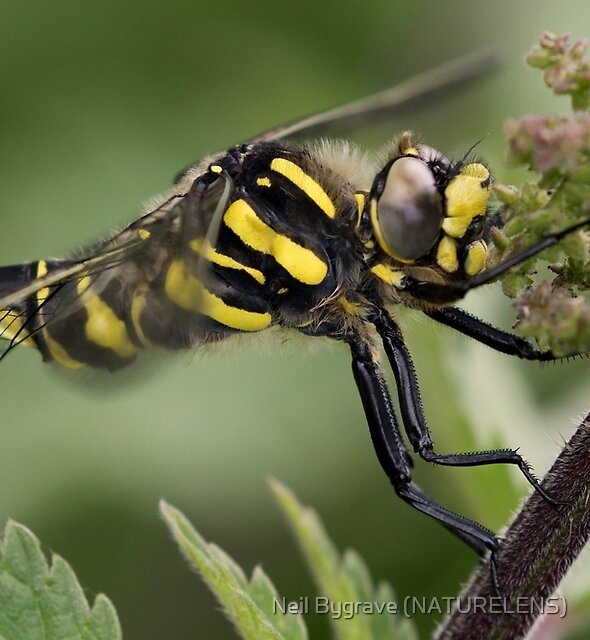 Male Golden-ringed Dragonfly by Neil Bygrave (NATURELENS)