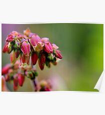 Wild Blueberry Blossoms Poster