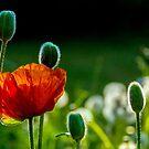 Poppy by Carola Gregersen