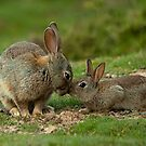 Rabbits Kisses by Miles Herbert
