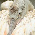 Dalmatian Pelican / Kroeskop Pelikaan by Jacqueline van Zetten