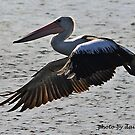 Pelican in flight 2 by daisy-lee