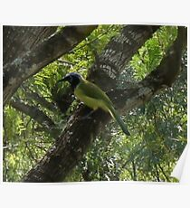 Green Jay  Poster