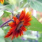 Red Sunflower by kkphoto1
