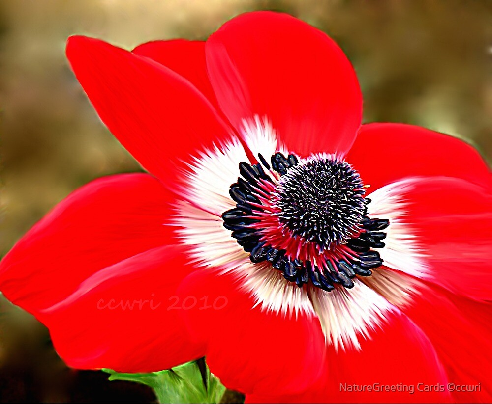 Sweet Serenity, Red Anemone by NatureGreeting Cards ©ccwri