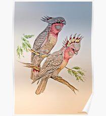 Australian Cockatoo 011 Poster