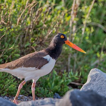 American Oystercatcher by Miracles