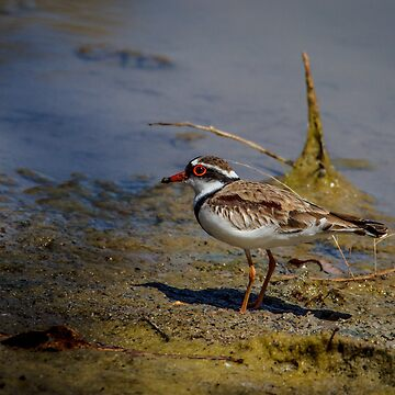 Black-fronted Dotterel by Normf