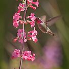 Anna's Hummingbird Drinking From Pink Penstemon by K D Graves Photography