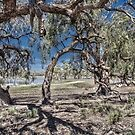Darling River gums by Normf
