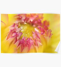 Pink and Yellow Dahlia, As Is Poster