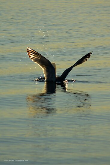 Larus Smithsonianus - America Herring Gull By Shallow Plunge-Diving | Noyack, New York by © Sophie W. Smith