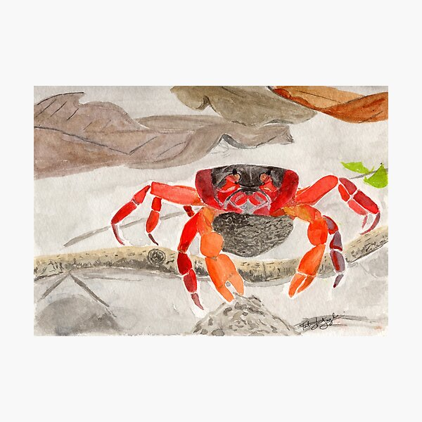 Christmas Island Red Crab with eggs Photographic Print