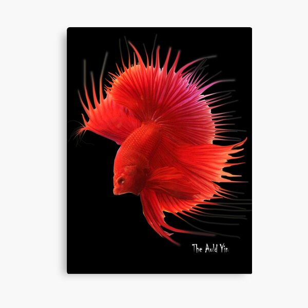 Siamese Fighting Fish. Canvas Print