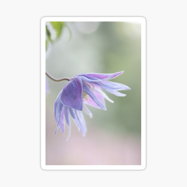 Clematis macropetala Sticker