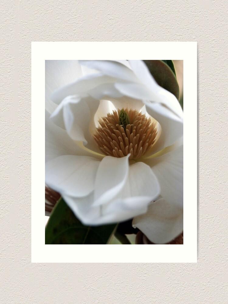 Alternate view of Evergreen Magnolia Art Print