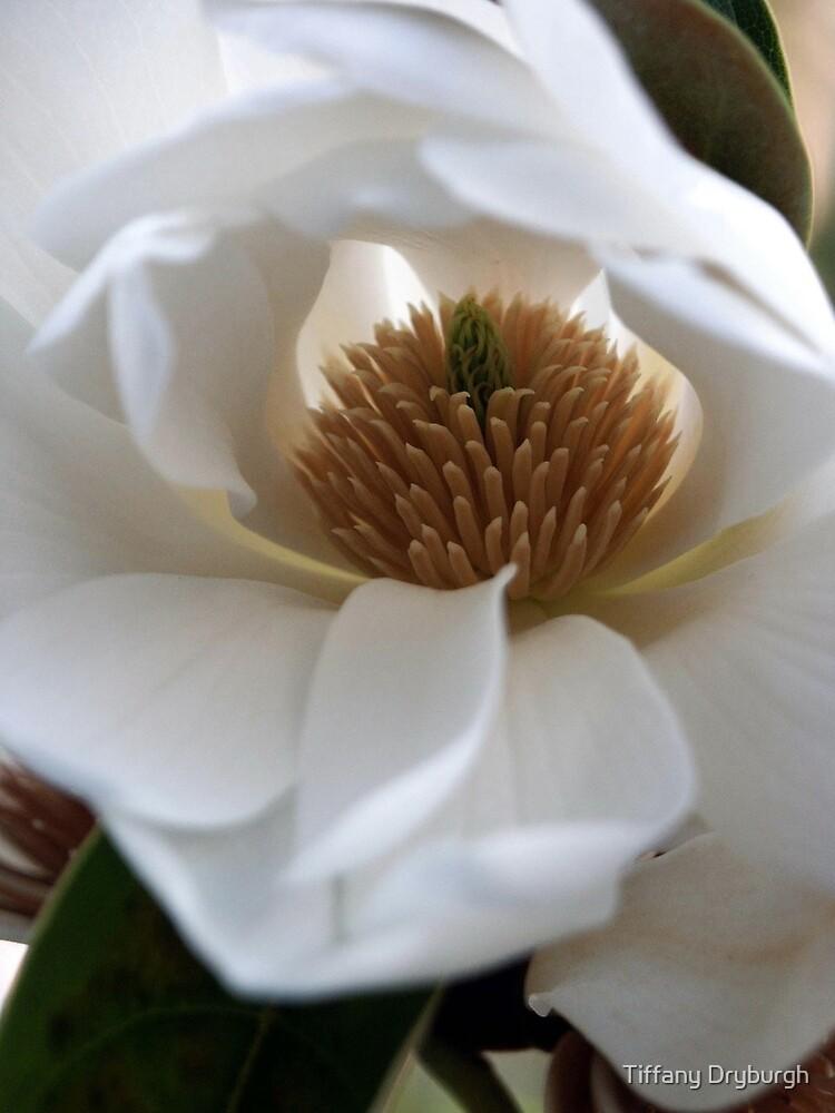 Evergreen Magnolia by Tiffany