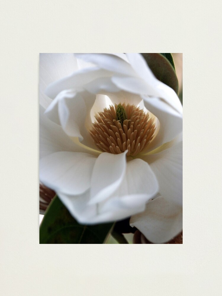 Alternate view of Evergreen Magnolia Photographic Print