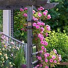 Climbing Roses by Tracy Riddell